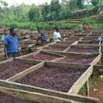 Illycafé Plantagenpartner in Äthiopien, Verarbeitung der Kaffeebohnen