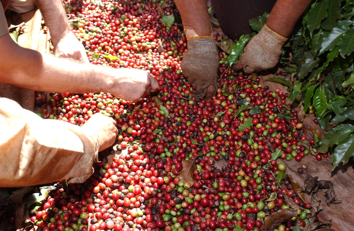 Illycafé Fairtrade Kaffeekirschen ernten