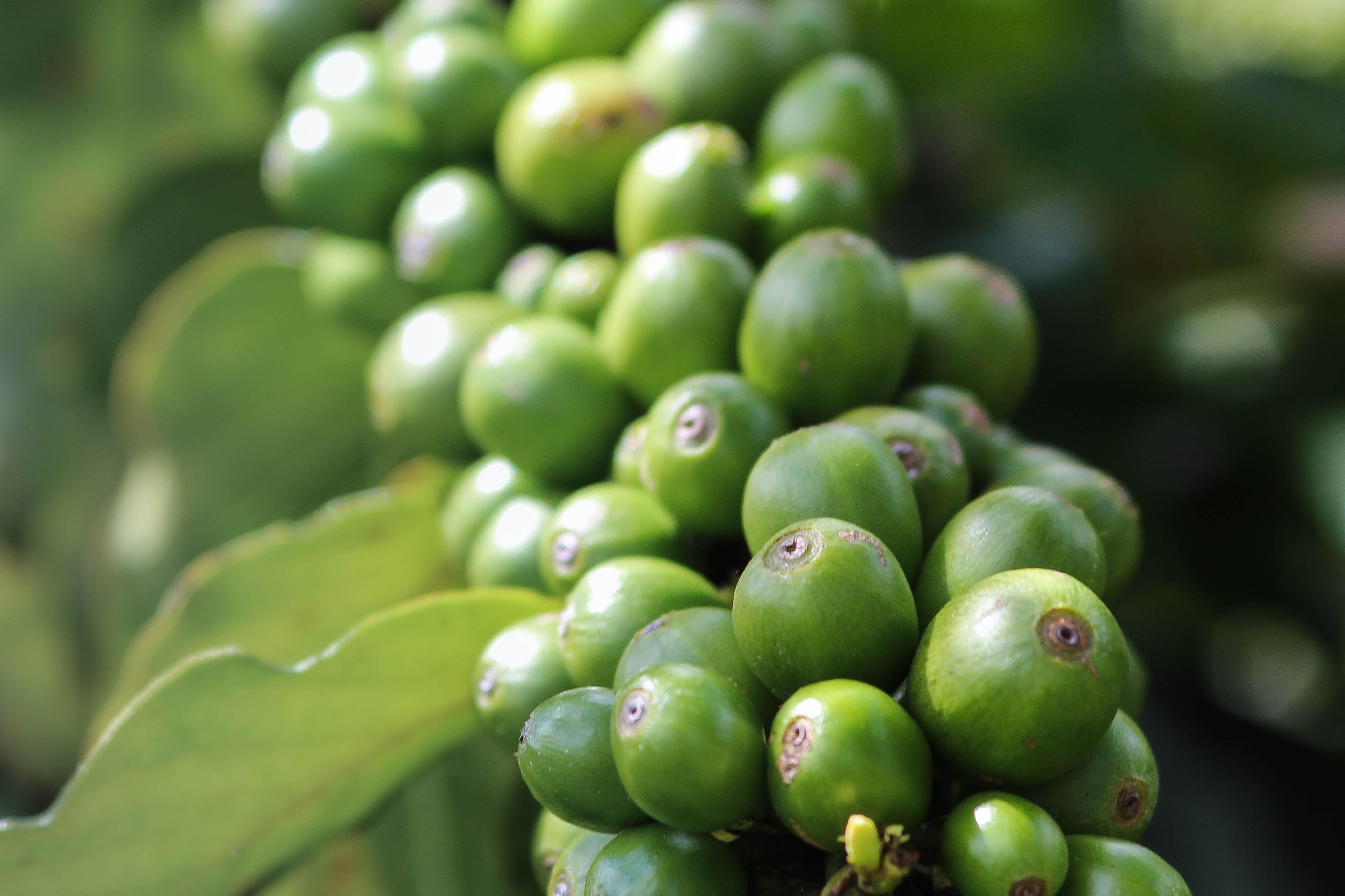 Illycafé Kaffeebohne grün by Rachel Clark unsplash
